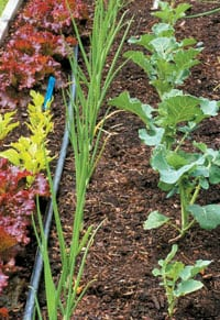 A diversified garden uses a variety of plant odors, colors and textures as natural pest barriers. Cabbage moths are confused when the scent of broccoli and cabbage are masked by onions and carrots growing next door.