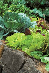 Mustard oils found in cabbage (paired here with lettuce) and similar plants often poison unsuspecting spider mites, mosquitoes and Mexican bean beetles.