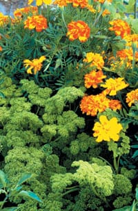 Marigolds, seen here with parsley, contain thiopene in their roots — a substance that is toxic to certain types of soil-dwelling nematodes.