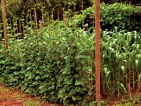 A vertical trellis — anchored by wood on either end and rows of hand-strung twine offering an easy path to sunlight — suspends a wall of beans.