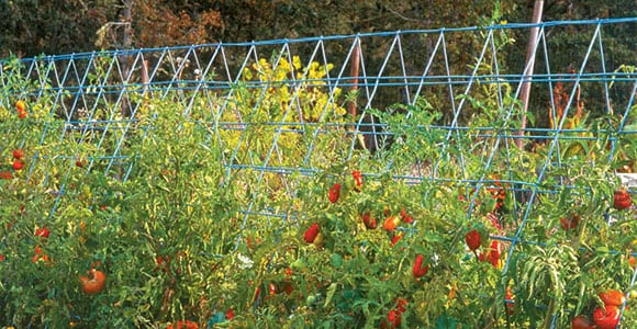 since trellising eliminates soil contact vegetables and fruits stay cleaner and are less likely to