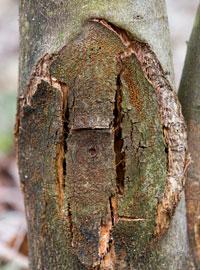 Orange blight fungus grows on a damaged chesnut tree. Photograph courtesy of Dr. Greg Weaver