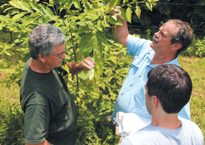 Dr. Hill Craddock and his University of Tennessee at Chattanooga crew grade blight resistance and assess physical characteristics of American chestnut trees in Greg Weaver's Williamson County orchard. The trees had been inoculated in June 2012 with two strains of chestnut blight.