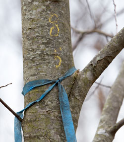 A tree injected with the blight is marked.