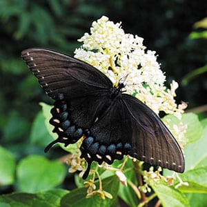 A wide hydrangea bloom makes dining on nectar easy for this black swallowtail. Source: L.A. Jackson