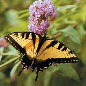 An Eastern tiger swallowtail explores a butterfly bush blossom. Source: L.A. Jackson