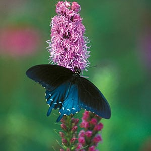 A pipevine swallowtail.  Photograph by Robin Conover
