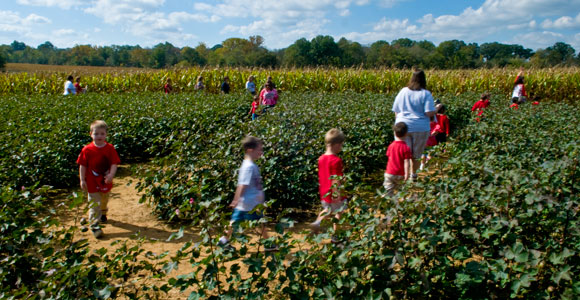 At Ring Farm near Spring Hill, visitors learn to recognize a number of crops grown in Tennessee like cotton in this patch. Photo by Drew McMurtrie, Tennessee Photographic Services.