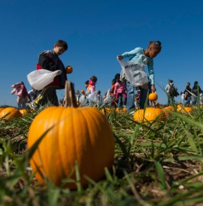 Children race to find the perfect pumpkin at the Alsup family's Honeysuckle Hill Farm near Springfield. Photo by Phil Cicero, Tennessee Photographic Services.