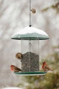 House finches. Photograph courtesy of Kay Home Products