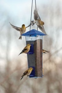 American goldfinches flock to a nearly full birdfeeder. Experts suggest it's better to landscape with native plants and supplement those food sources with birdfeeders. Photograph courtesy of Kay Home Products