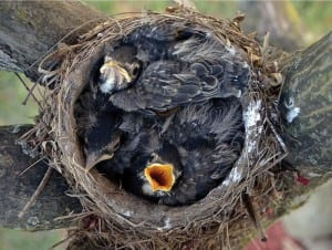 Birds — like these young robins — are most protected when they nest in native tree species. Photograph by S. Carnes/Courtesy Cornell Lab of Ornithology