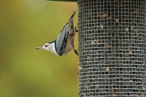 White-breasted nuthatch. Photograph courtesy of Kay Home Products