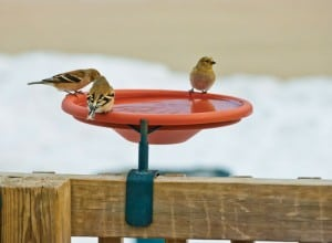 Goldfinches enjoy a backyard birdbath. Photograph courtesy of Kay Home Products
