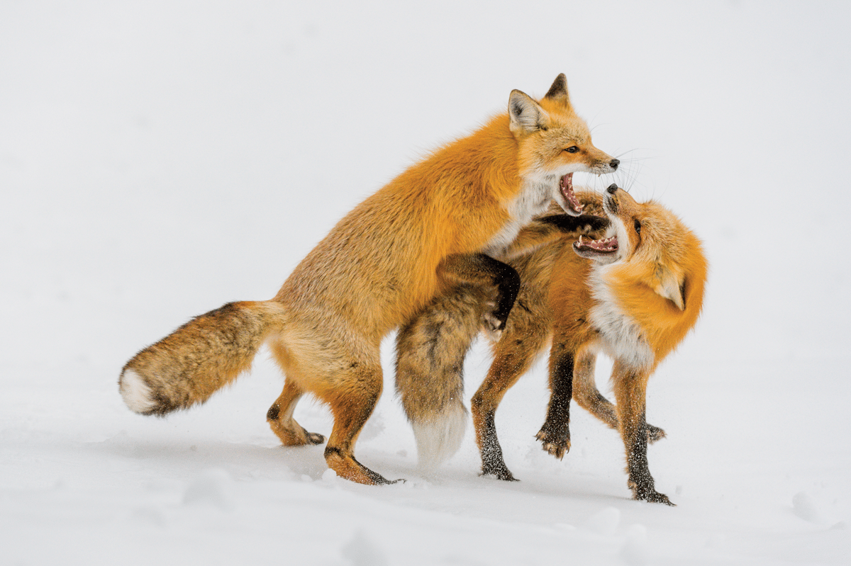 "Red fox exchange ""words"" in a minor lover's spat on a snowy day in Grand Tetons National Park."