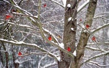 cardinals-master